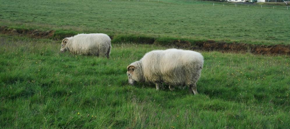 Skogafoss sheep