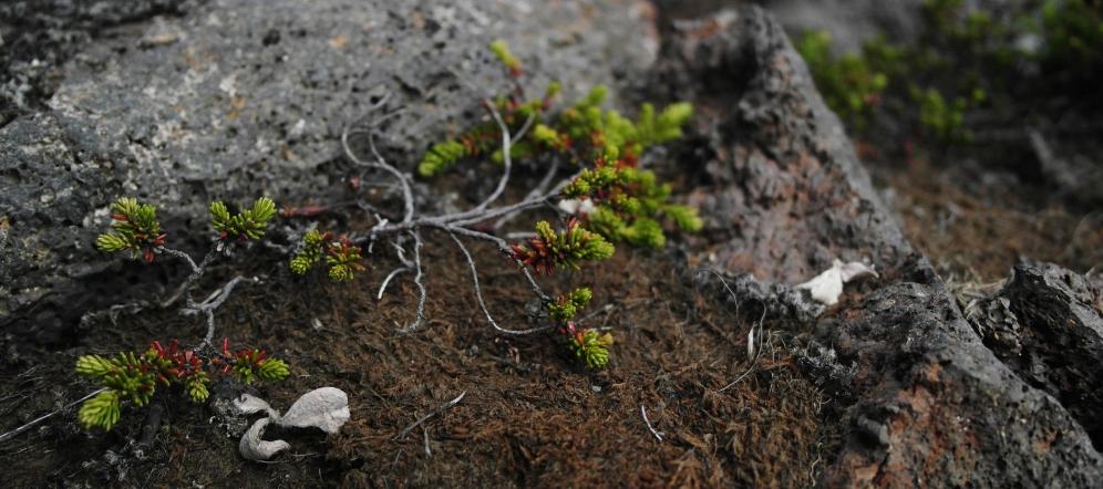 Iceland flora