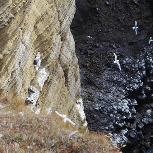 Snæfellsjökull's gulls